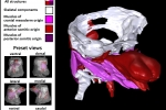 Scientists from Institute Pasteur and CEITEC BUT revealed morphogenetic signatures defining mammalian neck muscles